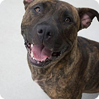 American Pit Bull Terrier/American Staffordshire Terrier Mix Dog for adoption in Prince George, Virginia - Jordan