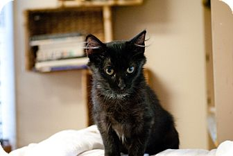 Domestic Shorthair Kitten for adoption in Homewood, Alabama - Alexa