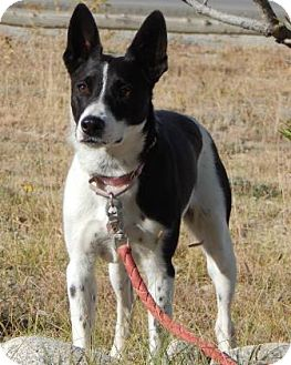 Border Collie/Australian Cattle Dog Mix Dog for adoption in Buena Vista, Colorado - Zeena