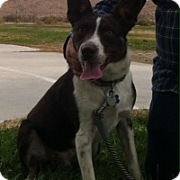 Border Collie/Australian Kelpie Mix Dog for adoption in Phelan, California - Axel