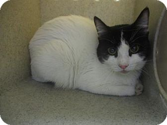 Domestic Shorthair Cat for adoption in Reno, Nevada - T. ZEBRAFISH