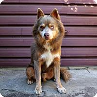 Adopt A Pet :: Koda - Los Angeles, CA