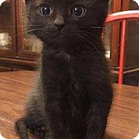 Adopt A Pet :: Gus - Fenton, MO
