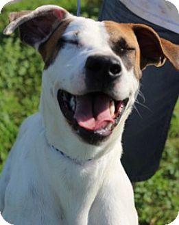 Boxer/Spaniel (Unknown Type) Mix Dog for adoption in Von Ormy, Texas - Bailee
