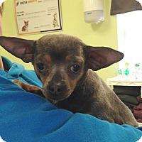 Adopt A Pet :: Durango - Newburgh, IN