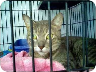 Domestic Shorthair Cat for adoption in Fort Lauderdale, Florida - Gianna