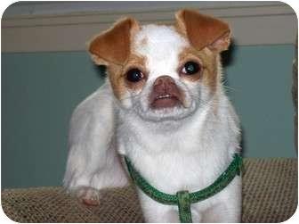 Agadore | Adopted Dog | Los Angeles, CA | Japanese Chin/Chihuahua Mix