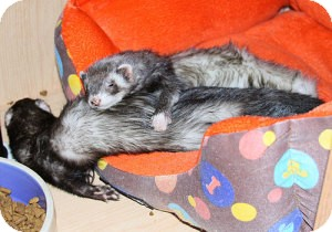 Ferret for adoption in Buxton, Maine - Bean