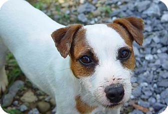 Jack Russell Terrier Dog for adoption in Scottsdale, Arizona - ROGUE