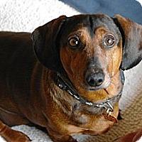 Adopt A Pet :: Jack - Vaudreuil-Dorion, QC