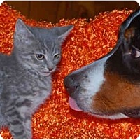 Adopt A Pet :: Tiny Tim - Colmar, PA