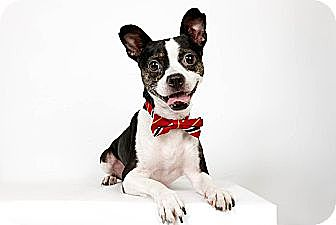 Boston Terrier Mix Dog for adoption in New York, New York - Olivier