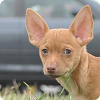 Adopt A Pet :: Patric - Tumwater, WA