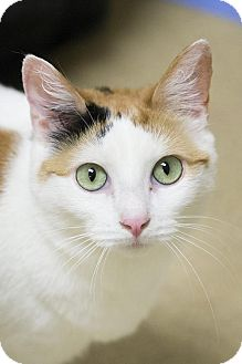 Domestic Shorthair Cat for adoption in Brick, New Jersey - Harley