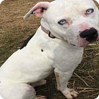 Pit Bull Terrier Dog for adoption in Fulton, Missouri - Baby Blues *Illinois