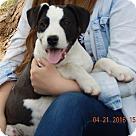 Adopt A Pet :: Outlaw(18 lb) New Pics/Video