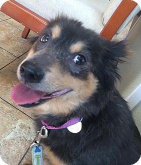 Sheltie, Shetland Sheepdog/Keeshond Mix Dog for adoption in Oak Ridge, New Jersey - Rosie