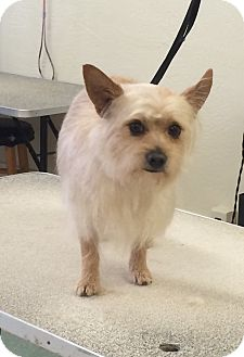 Silky Terrier/Terrier (Unknown Type, Small) Mix Dog for adoption in Lodi, California - Jordy