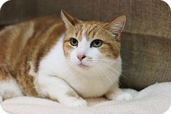 Domestic Shorthair Cat for adoption in Midland, Michigan - Chloe - NO FEE