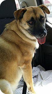 Labrador Retriever/Chow Chow Mix Dog for adoption in Fenton, Missouri - Maxine