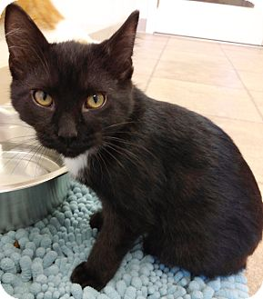 Domestic Shorthair Kitten for adoption in Cloquet, Minnesota - River