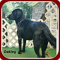 Labrador Retriever Mix Dog for adoption in Malvern, Arkansas - OAKLEY