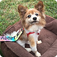 Adopt A Pet :: Gizmo - Kansas City, MO