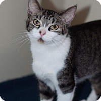 Domestic Shorthair Cat for adoption in New Martinsville, West Virginia - Lynsy