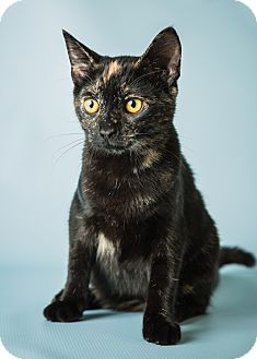 Domestic Shorthair Kitten for adoption in Hendersonville, North Carolina - Tessie
