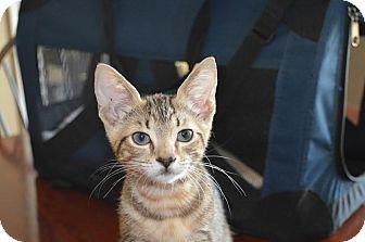 Domestic Shorthair Kitten for adoption in Flower Mound, Texas - Jewel