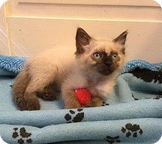 Siamese Kitten for adoption in Austin, Texas - Gansel