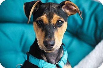 Beagle/Bull Terrier Mix Puppy for adoption in greenville, South Carolina - Bowie