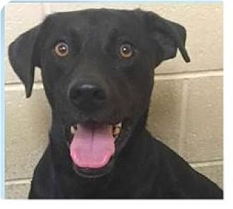 Labrador Retriever Mix Dog for adoption in Springdale, Arkansas - Riggins