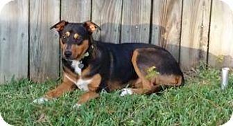 Australian Shepherd Mix Dog for adoption in Tomball, Texas - Terra