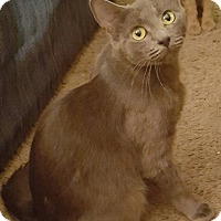 Domestic Shorthair Cat for adoption in Toledo, Ohio - Lavender