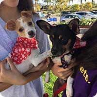 Border Terrier/Boston Terrier Mix Dog for adoption in Corona, California - Bella Cuddles n Mom Rosebud