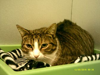 Domestic Shorthair Cat for adoption in Barnwell, South Carolina - Andy
