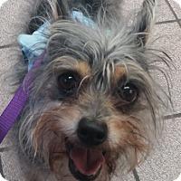 Adopt A Pet :: Sammy - Fremont, CA