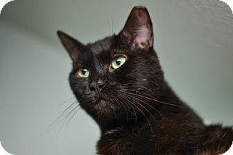 Bombay Cat for adoption in Queens, New York - Biggie