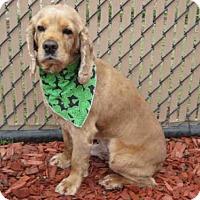 Adopt A Pet :: *CALVIN - Norco, CA