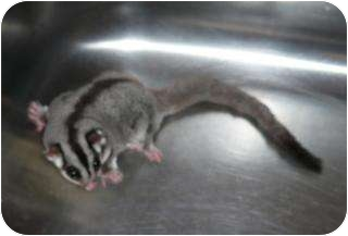 Sugar Glider for adoption in Van Alstyne, Texas - Bella