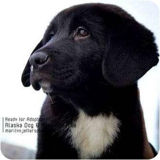 /Newfoundland Mix Puppy for adoption in Wasilla, Alaska - Lab mix