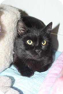 Domestic Shorthair Cat for adoption in North Branford, Connecticut - Bryce