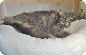 Domestic Longhair Cat for adoption in Olmsted Falls, Ohio - Nola-COURTESY POST