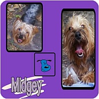 Adopt A Pet :: MIDGEY - Hollywood, FL