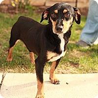 Adopt A Pet :: Sheldon - Lancaster, OH