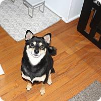 Adopt A Pet :: Aiko - Manassas, VA