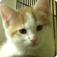Adopt A Pet :: SHIRLEY - Acme, PA