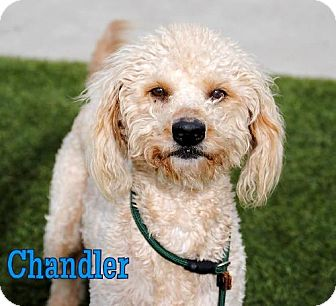 Golden Retriever/Poodle (Standard) Mix Dog for adoption in Long Beach, California - Chandler