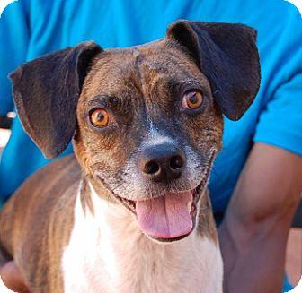 Boston Terrier/Beagle Mix Dog for adoption in Las Vegas, Nevada - Patrick